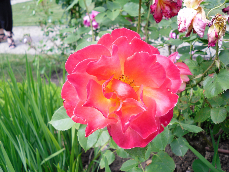 Rose - Journées de la Rose - Abbaye de Chaalis (oise)