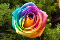Rose kunterbunt