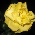 Rose kurz vor dem Einschlafen