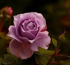 """Rose """"Mainzer Fasnacht"""""""