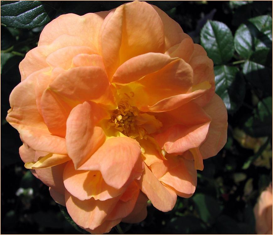 Rose (makro)