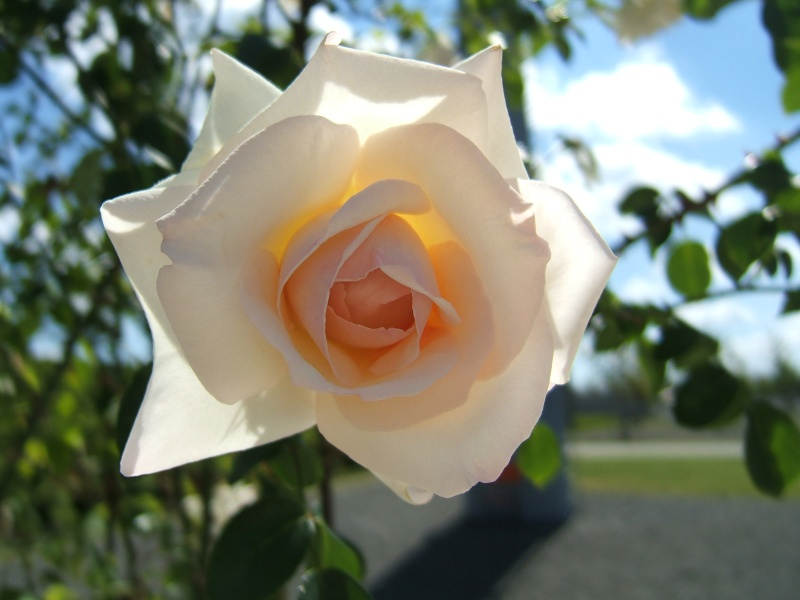 Rose Makro (BUGA05)