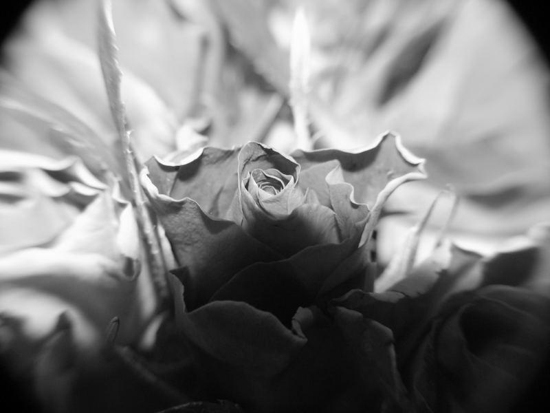 Rose mal anders belichtet