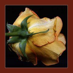 Rose - mal aus einer anderen Perspektive