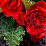 Rose MB