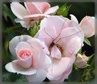 Rose mit Gast