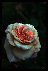Rose mit Glanz