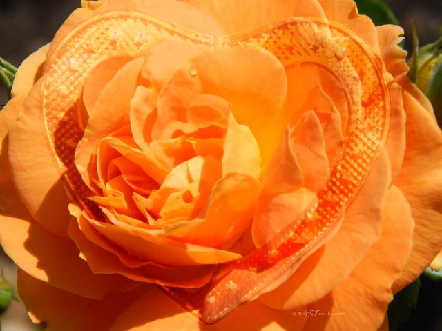 rose mit herz foto  bild  natur blumen pflanzen bilder