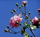 Rose mit Knospen