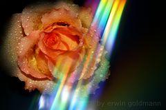 Rose mit Lichtreflektionen