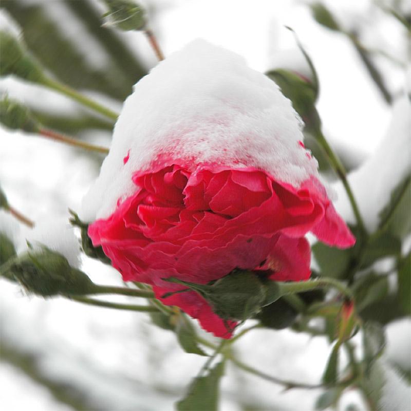 Rose mit (Sahne-) Schneehäubchen