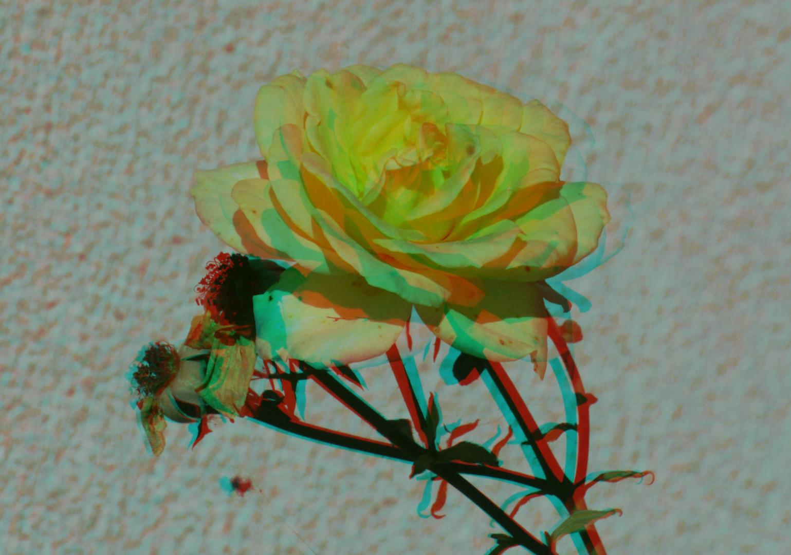 Rose mit Scheinfensterkonflikt