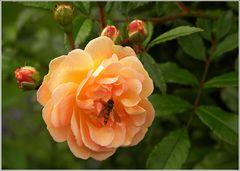 Rose mit Schwebfliege