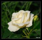 Rose mit Tränen #1