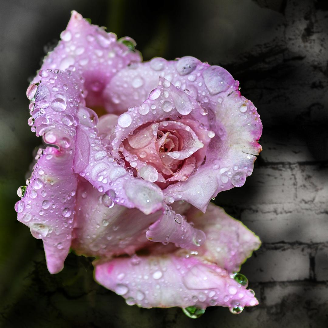 »Rose mit Tränen«