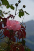 Rose mit Weinlaub