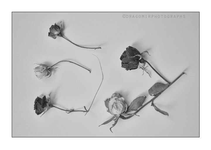 Rose Morning 1