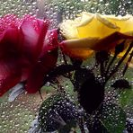 Rose n.1