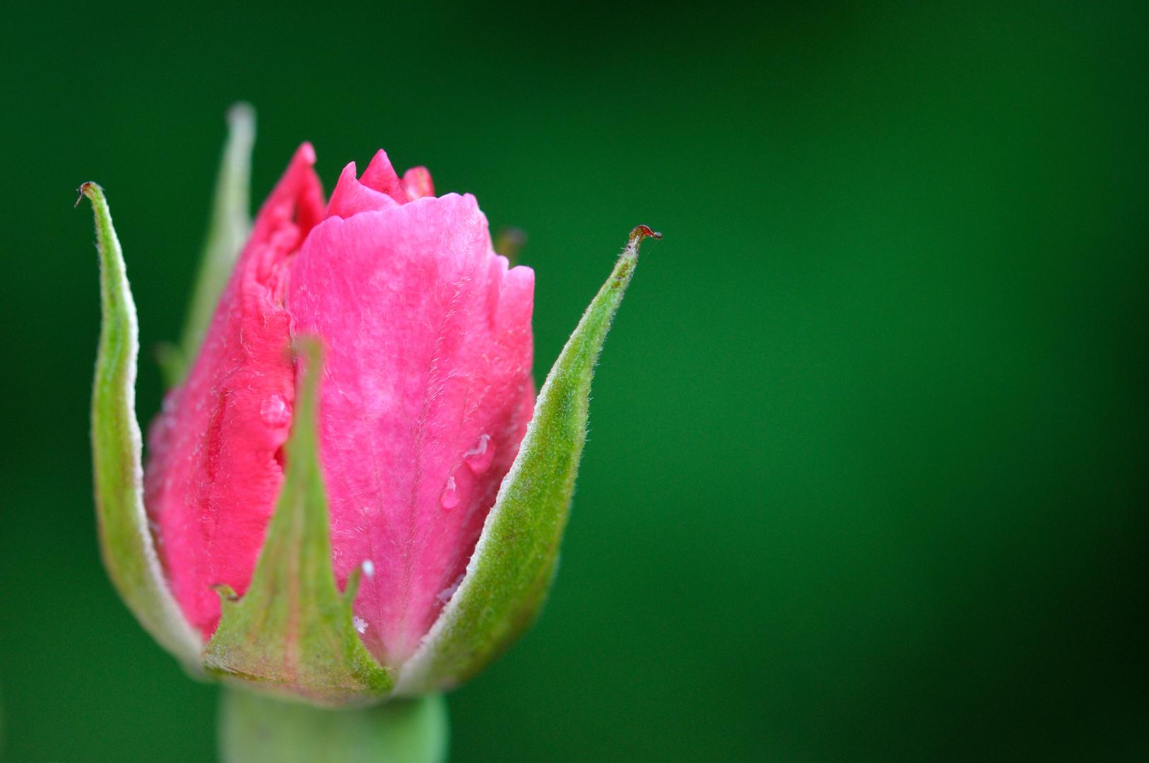 Rose nach dem Regen.