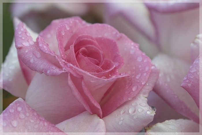 Rose nach einem Regen