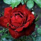 Rose nach einem Regenschauer