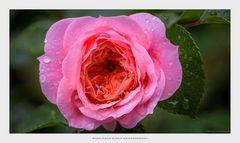 Rose Nach Einem Sommerregen