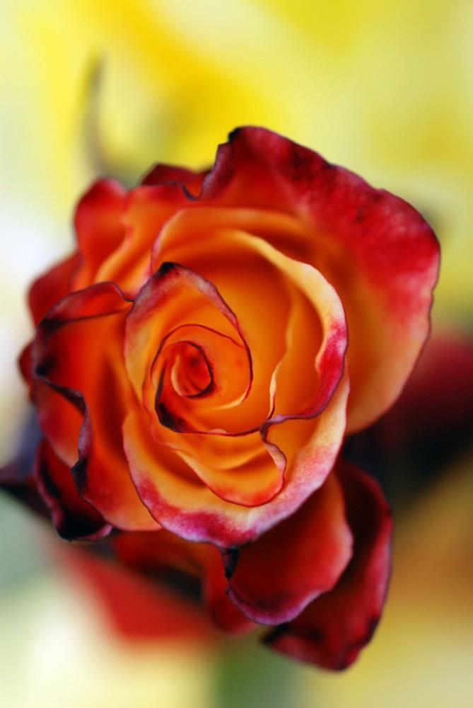 Rose nach erstem leichten Frost