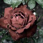 Rose nach Regenschauer im leichten Sepia