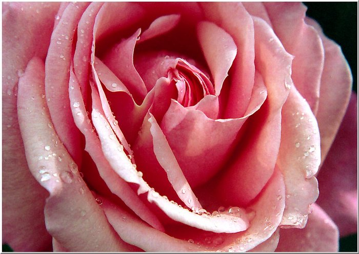Rose nach Sommerregen - Variante 2