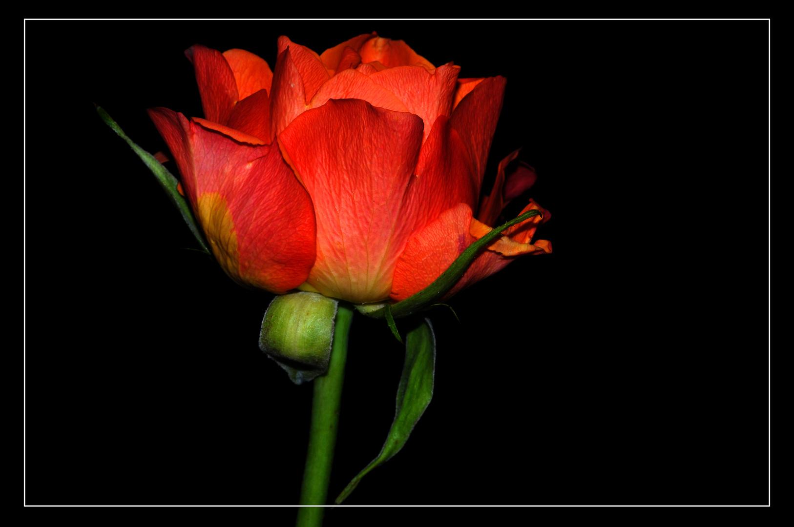 Rose neu bearbeitet