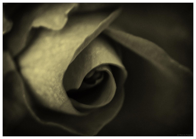 Rose Nr. 1