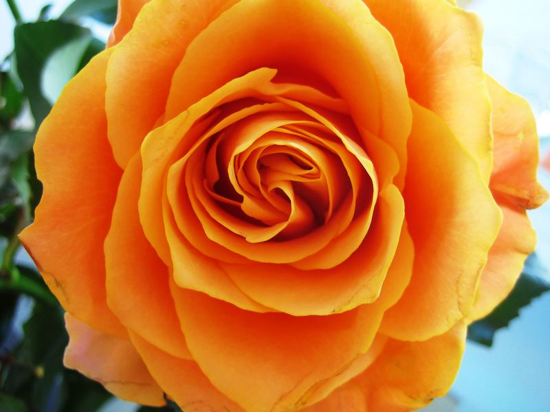 Rose Nr.1
