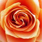 Rose Nr.2