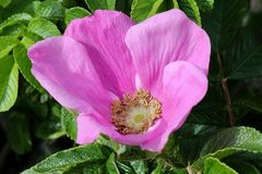 """Rose oder """"Rosa"""""""