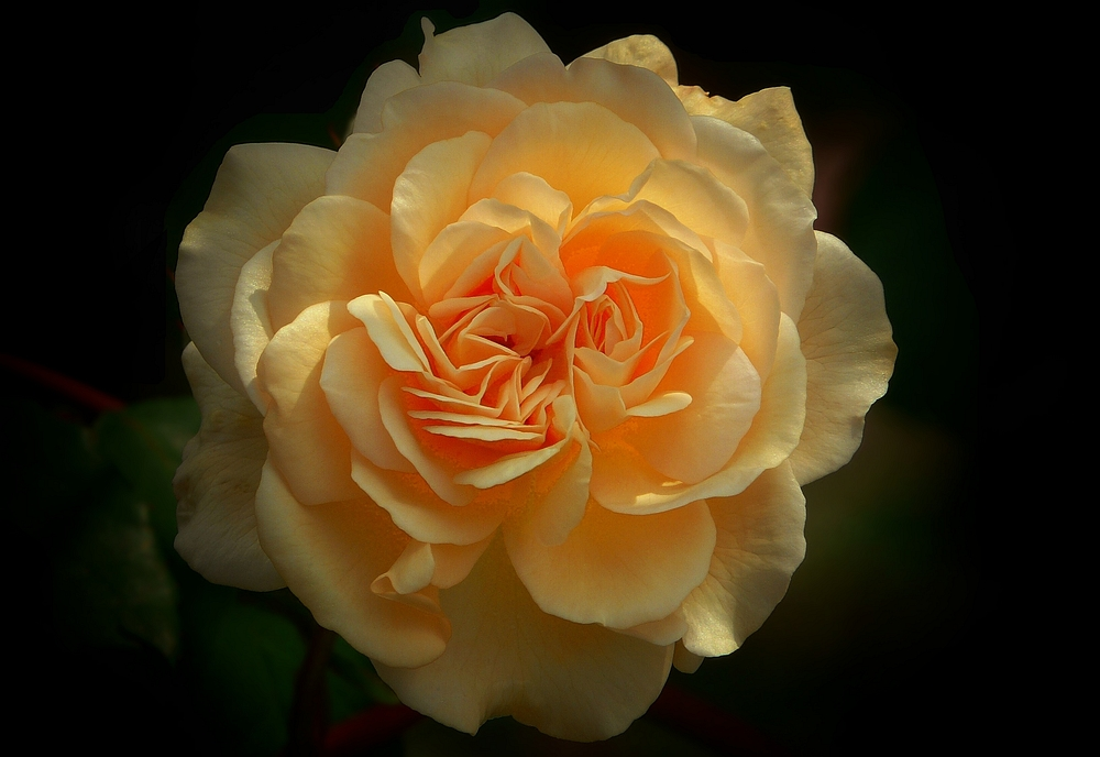 Rose of Summer (3)
