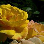 Rose of Summer (4)