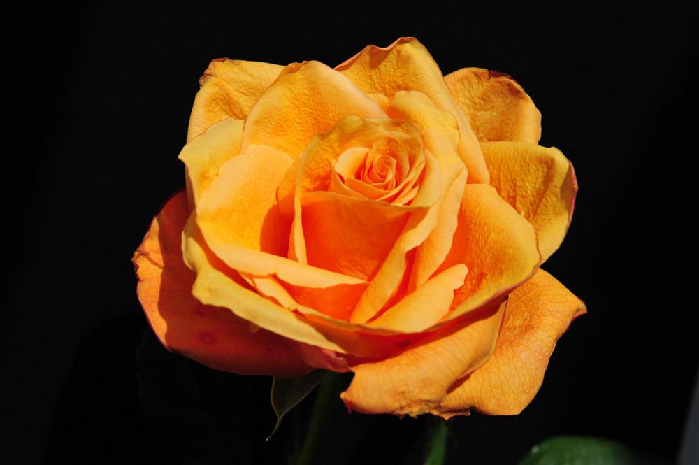 Rose-Orange