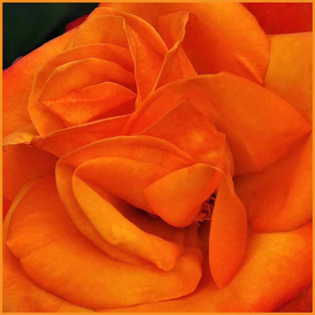 """rose orange  """" au carré""""...."""