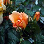 rose orangée!