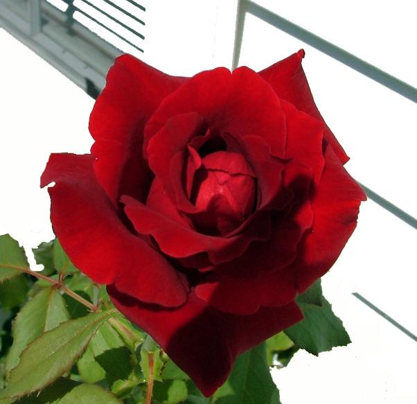 Rose outside my window