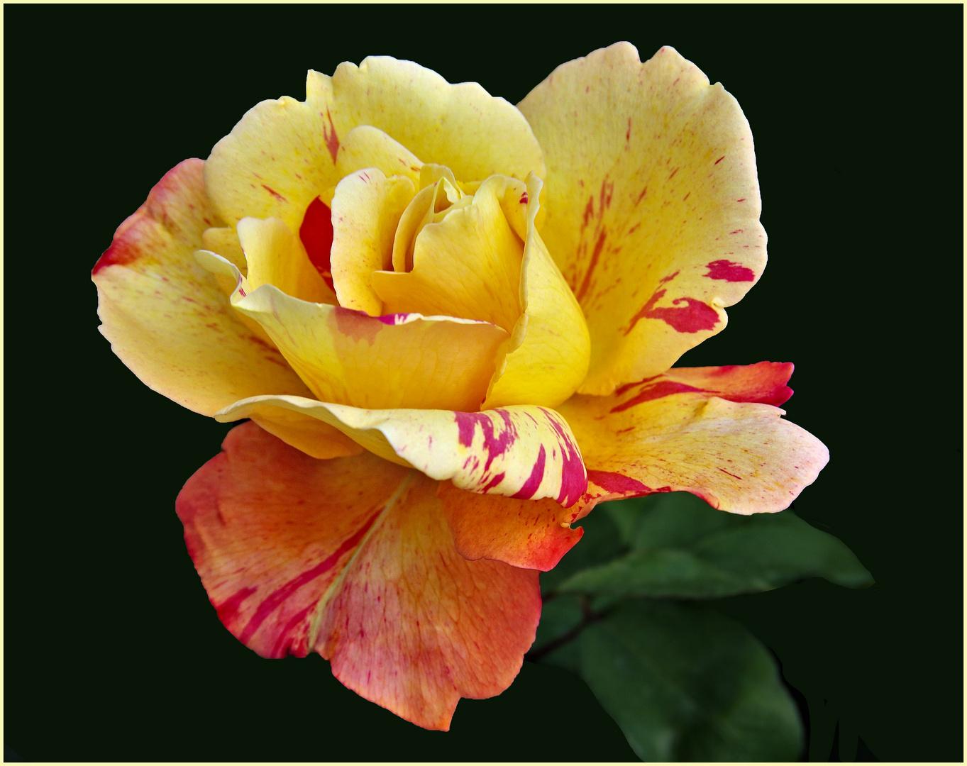 rose panachée du jardin ...