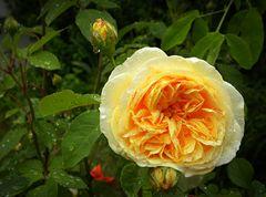 "Rose ""pietschnass"" ...."