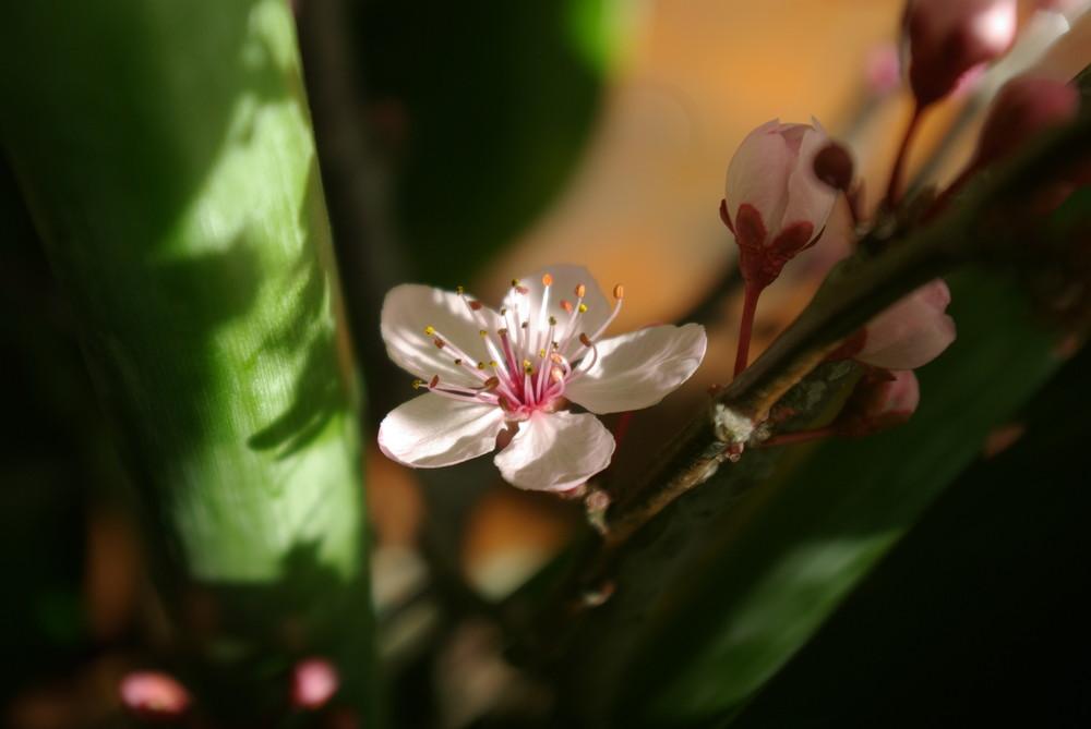 rose pâle éclairé