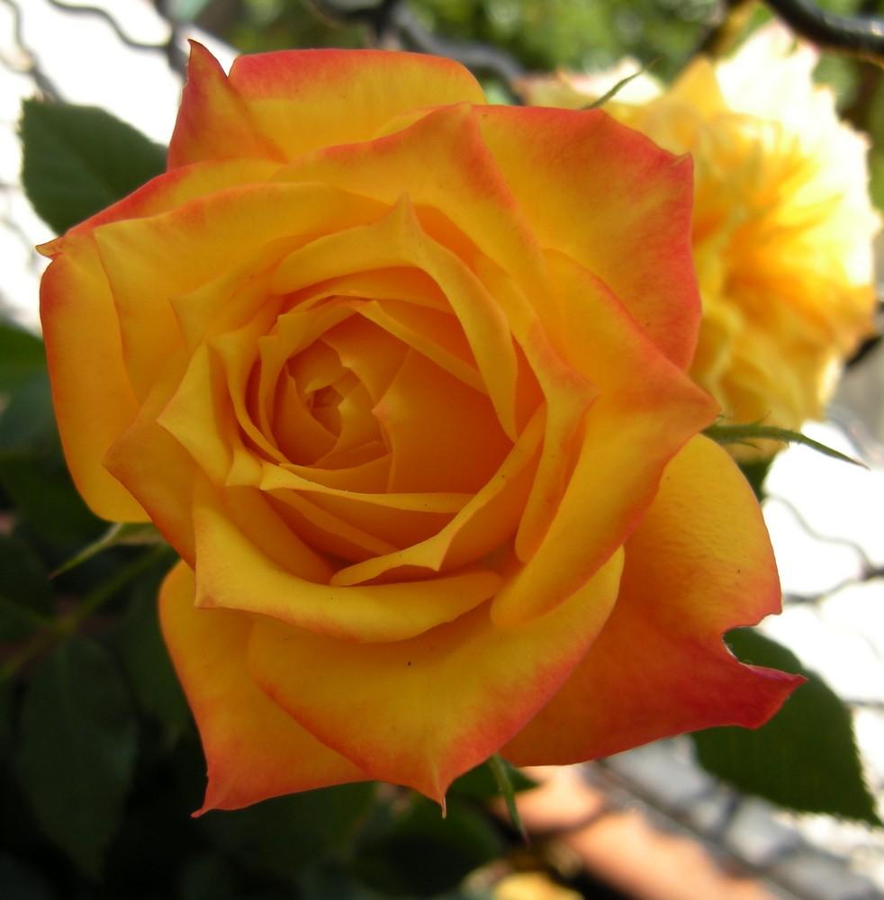 Rose  pour ceux qui passe par là!!!!!