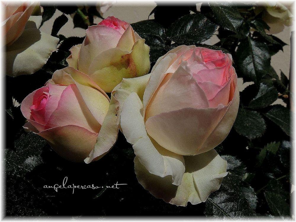 rose profumatissime