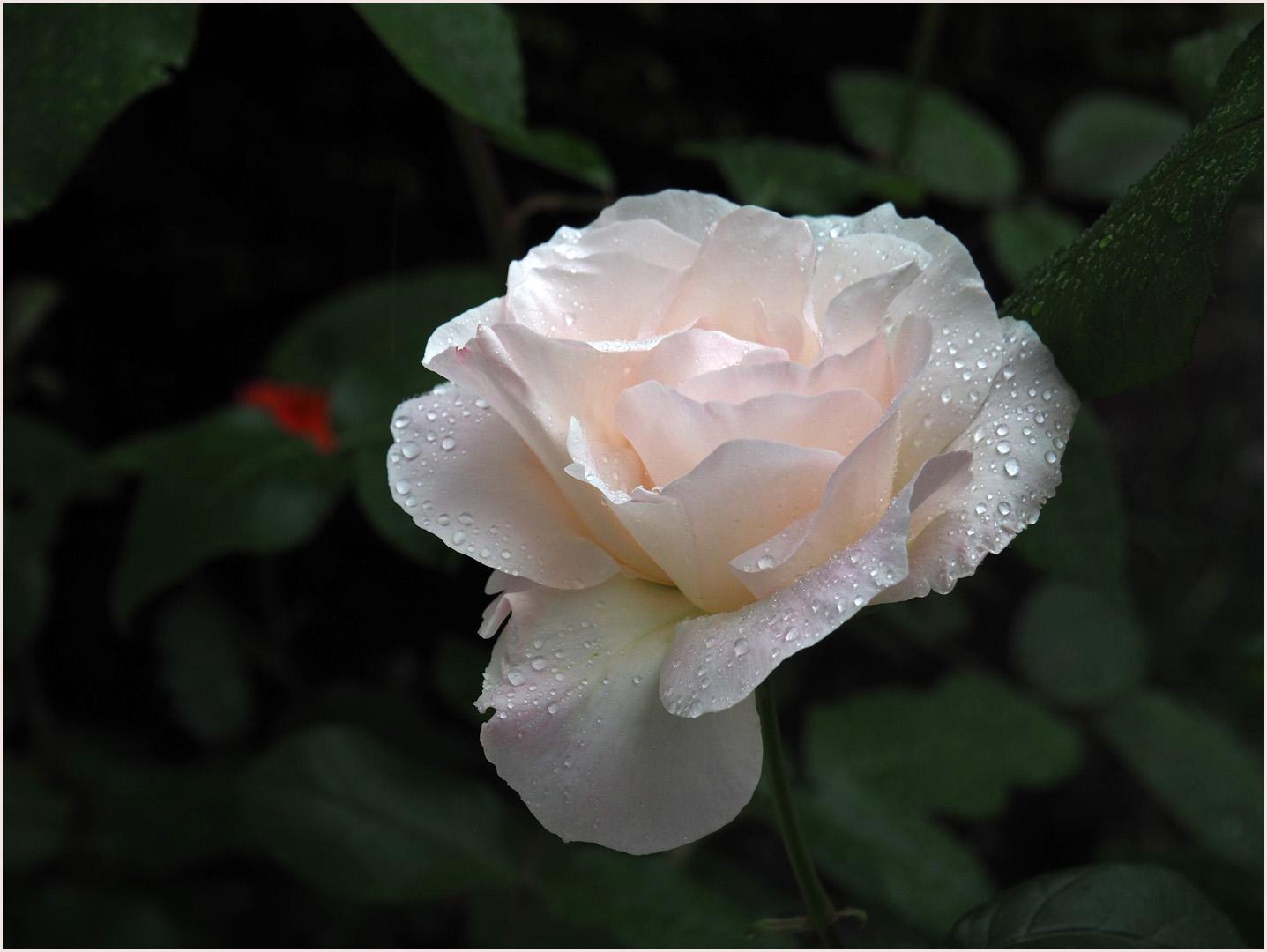"Rose ""Queen Elisabeth"" blanche"