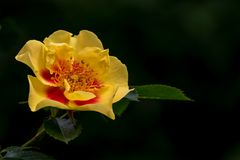 Rose (Queen of Sheba oder Eye of the Tiger)