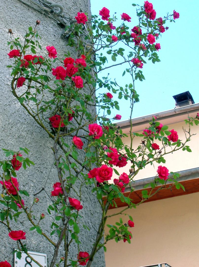 Piante Di Rose Rampicanti rose rampicanti foto % immagini  piante, fiori e funghi