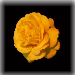 Rose (reloaded 2) HDR