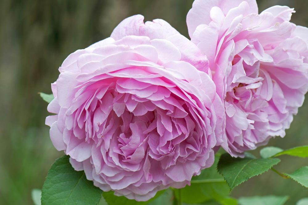 Rosé Rosen